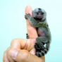 Finger Monkey For Sale $100 coupon
